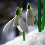 Where to see snowdrops