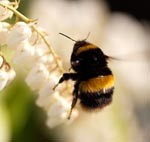 Encourage bees into your garden