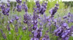 Plant of the week: Save money on stunning lavender 